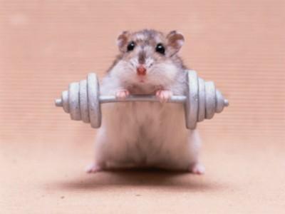animal-hamster-636